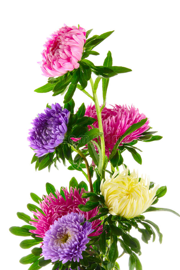 Aster image stock