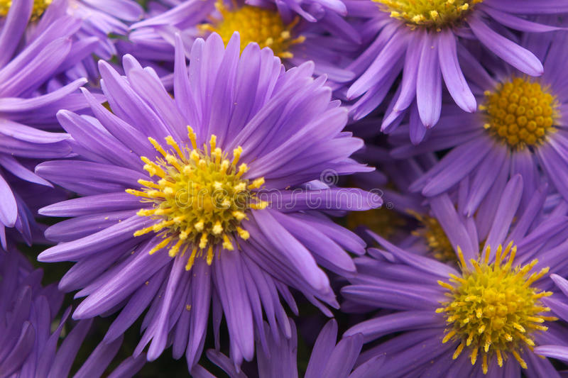 aster photos stock