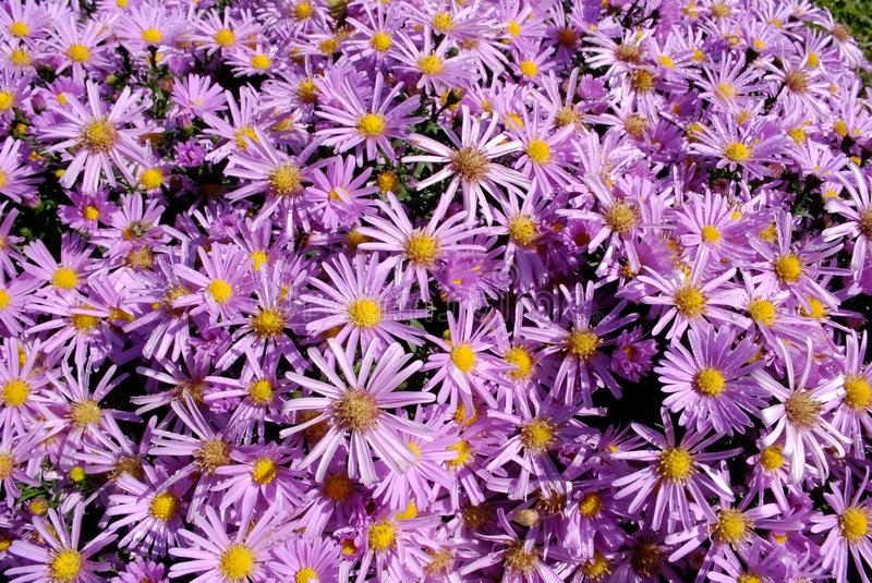 Download Aster stock photo. Image of aster, nature, summer, floral - 6729128