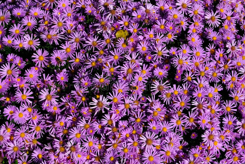Download Aster stock photo. Image of bright, garden, blooming, perennial - 7034682