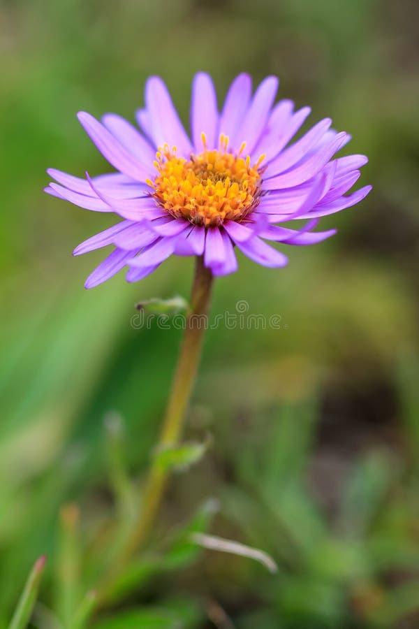 Download Aster alpinus stockbild. Bild von blatt, frisch, nahaufnahme - 106801345