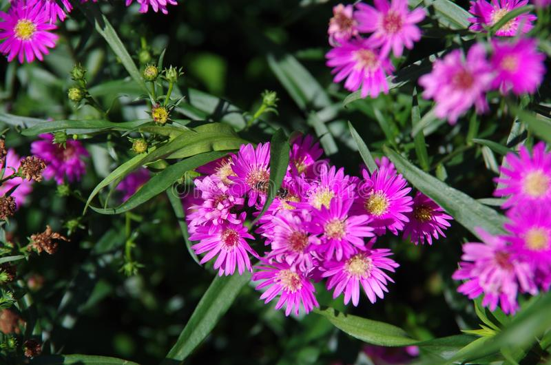 Aster amellus Daisy. Purple European Michaelmas Daisy. Honey and landmark, very beauty. Aster amellus royalty free stock photography