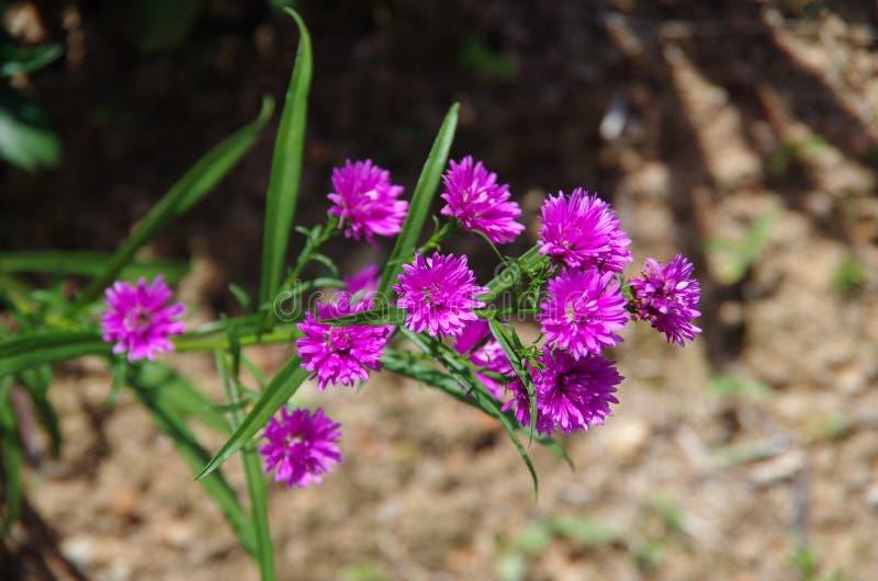 Aster amellus Daisy. Purple European Michaelmas Daisy. Honey and landmark, very beauty. Aster amellus royalty free stock images
