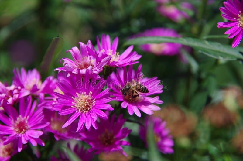 Aster amellus Daisy. Purple European Michaelmas Daisy. Honey and landmark, very beauty. Aster amellus royalty free stock image