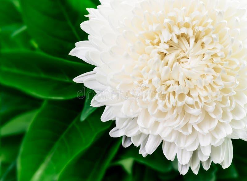 Aster Autumn White Flower royalty-vrije stock afbeelding