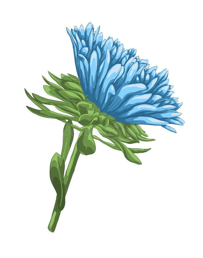 Aster azul brillante hermoso con efecto de la acuarela aislado sobre el fondo blanco ilustración del vector