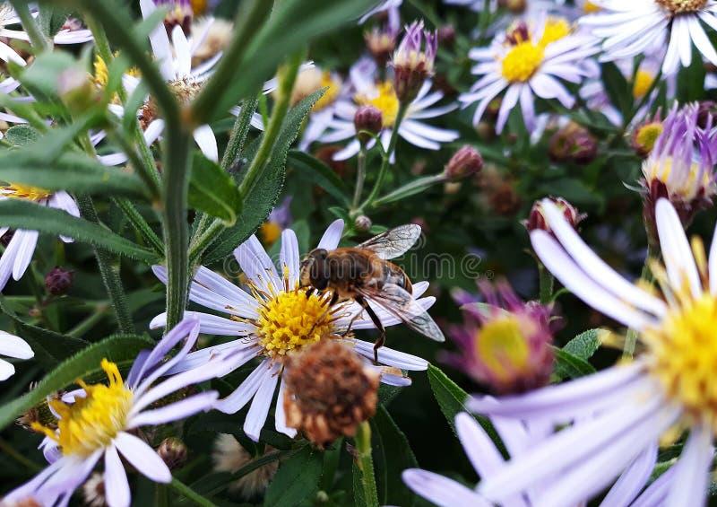 Aster blanco melenudo de Oldfield, flores del pilosum de Symphyotrichum con la abeja de la miel que poliniza el centro amarillo imagen de archivo libre de regalías