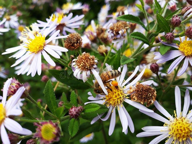 Aster blanco melenudo de Oldfield, flores del pilosum de Symphyotrichum con la abeja de la miel que poliniza el centro amarillo fotos de archivo libres de regalías