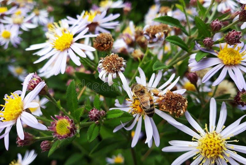 Aster blanco melenudo de Oldfield, flores del pilosum de Symphyotrichum con la abeja de la miel que poliniza el centro amarillo foto de archivo