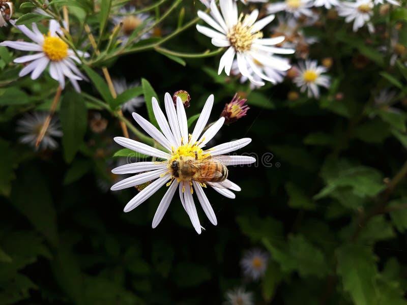 Aster blanco melenudo de Oldfield, flores del pilosum de Symphyotrichum con la abeja de la miel que poliniza el centro amarillo imágenes de archivo libres de regalías