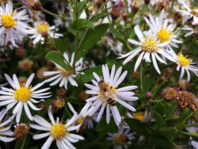 Aster blanco melenudo de Oldfield, flores del pilosum de Symphyotrichum con la abeja de la miel que poliniza el centro amarillo foto de archivo libre de regalías
