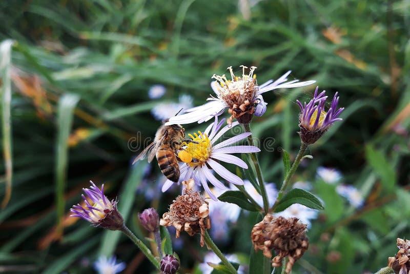Aster blanco melenudo de Oldfield, flores del pilosum de Symphyotrichum con la abeja de la miel que poliniza el centro amarillo fotografía de archivo libre de regalías