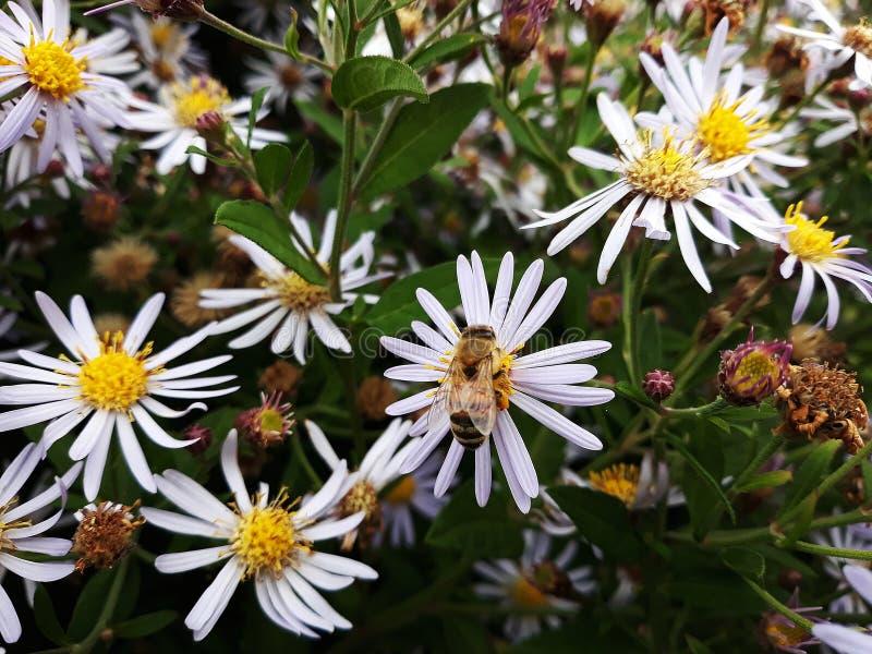 Aster blanco melenudo de Oldfield, flores del pilosum de Symphyotrichum con la abeja de la miel que poliniza el centro amarillo fotografía de archivo