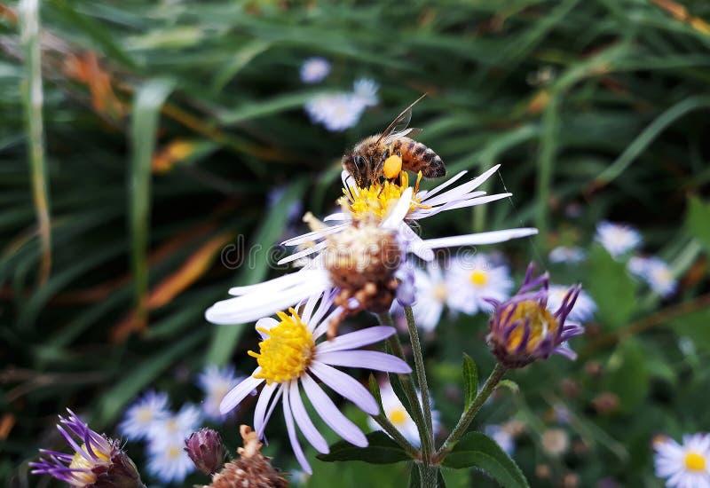 Aster blanco melenudo de Oldfield, flores del pilosum de Symphyotrichum con la abeja de la miel que poliniza el centro amarillo imagen de archivo