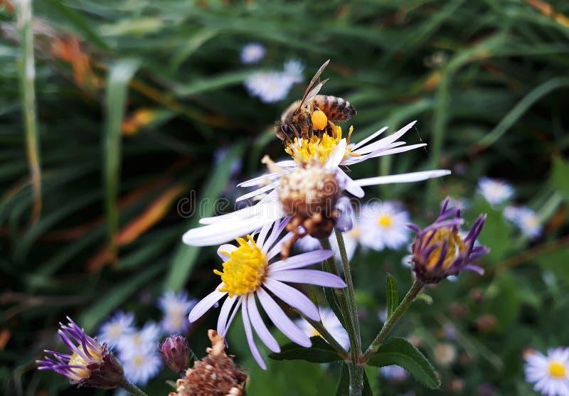 Aster blanco melenudo de Oldfield, flores del pilosum de Symphyotrichum con la abeja de la miel que poliniza el centro amarillo fotos de archivo