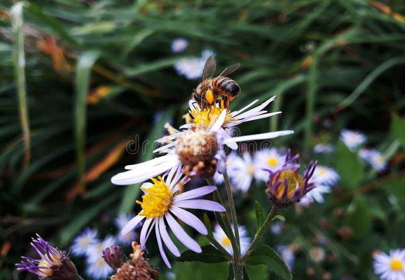 Aster blanco melenudo de Oldfield, flores del pilosum de Symphyotrichum con la abeja de la miel que poliniza el centro amarillo imagenes de archivo