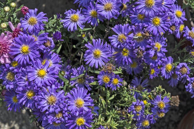 Aster bleuâtre image stock