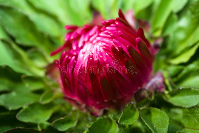 Aster bud stock image