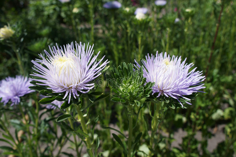 Aster callistephus needle young white-violet flowers and bud.  royalty free stock images