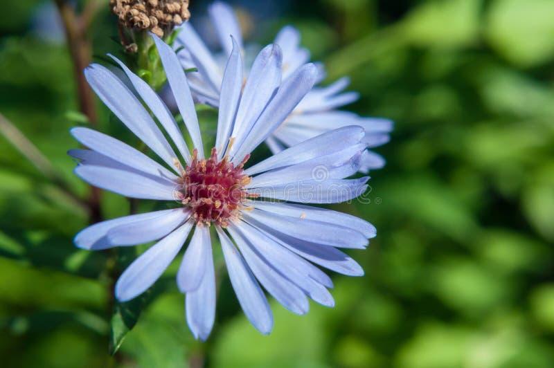 Aster Chamomile Azul sobre fundo desfocado de grama verde foto de stock
