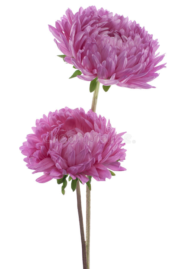 Aster de Chine image stock