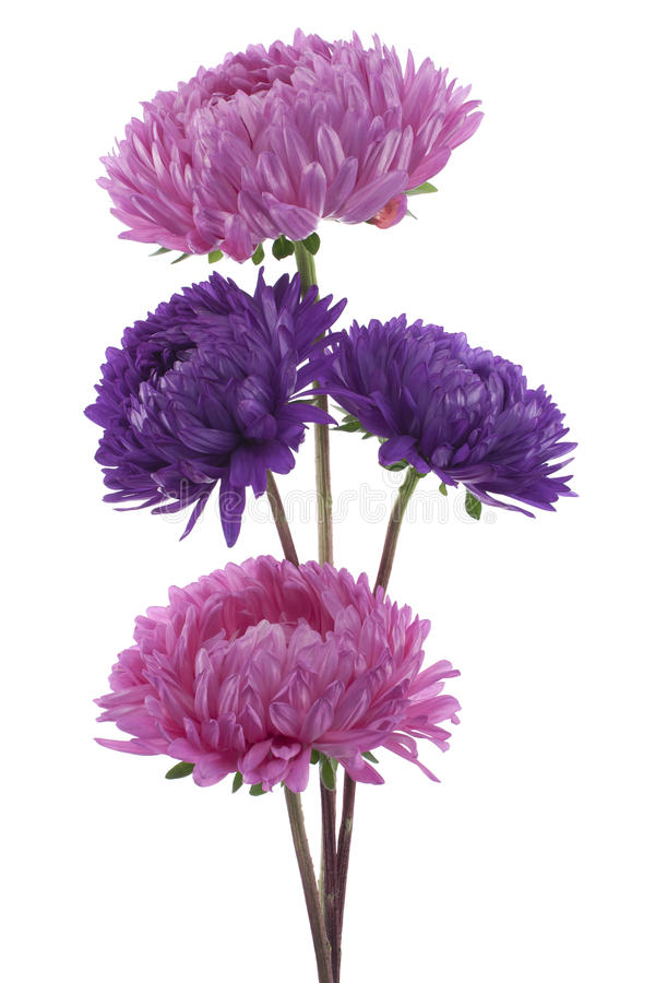 Aster de Chine images stock