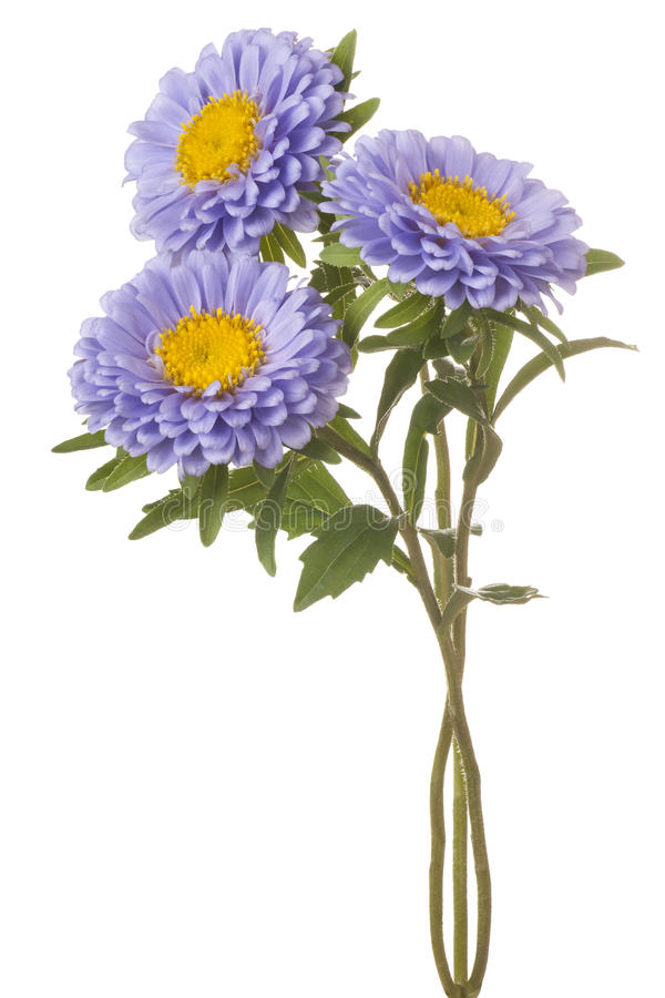 Aster de Chine images libres de droits