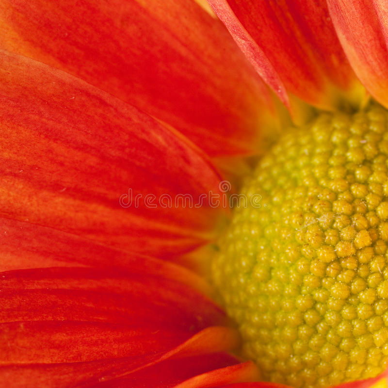 Aster de Chine photographie stock
