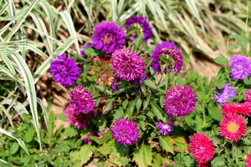 Aster de Chine ou usine chinensis de Callistephus avec de diverses nuances denses des fleurs pourpres et rouges entourées avec le photo libre de droits