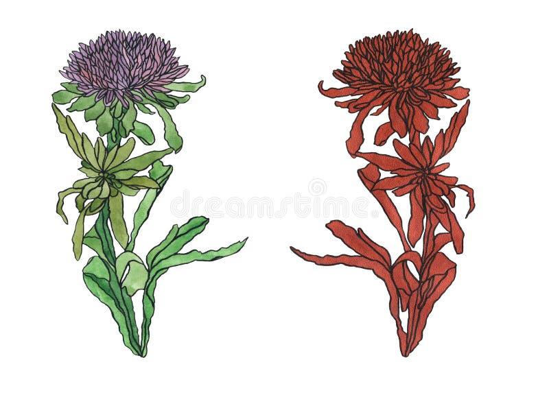 Aster de fleur d'illustration d'aquarelle avec l'Art nouveau de feuilles illustration libre de droits