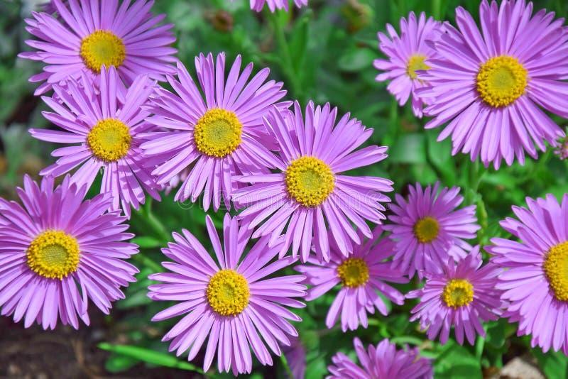 Aster Dumosus-Rosa-Podien mit Blumen lizenzfreie stockfotografie