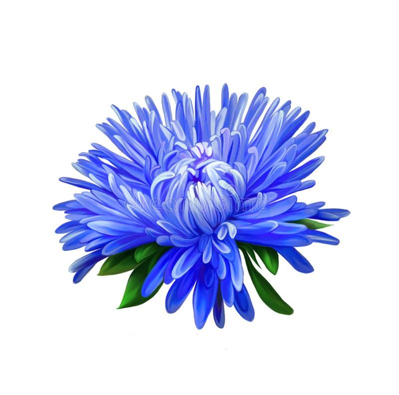 aster Fleur bleue, fleur de ressort d'isolement en fonction photographie stock libre de droits