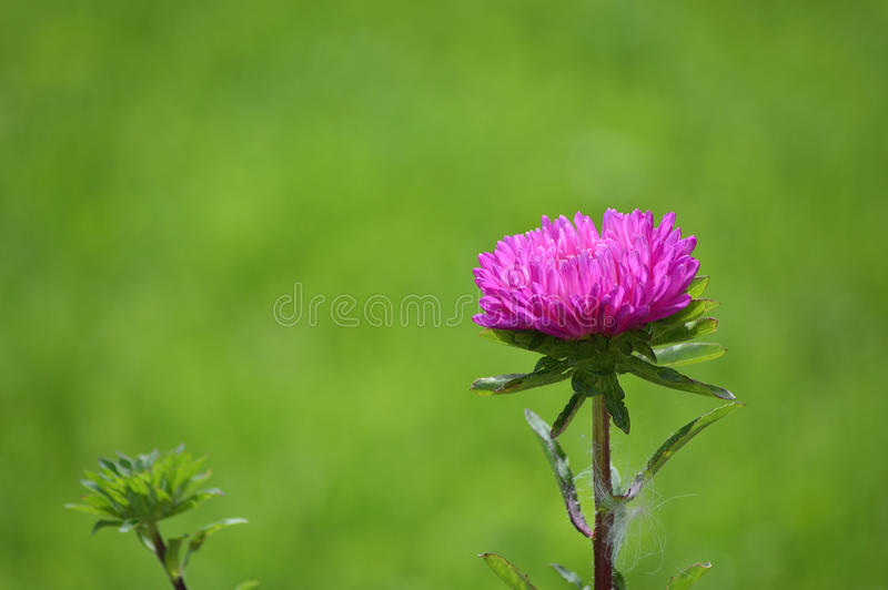 Aster flower royalty free stock images