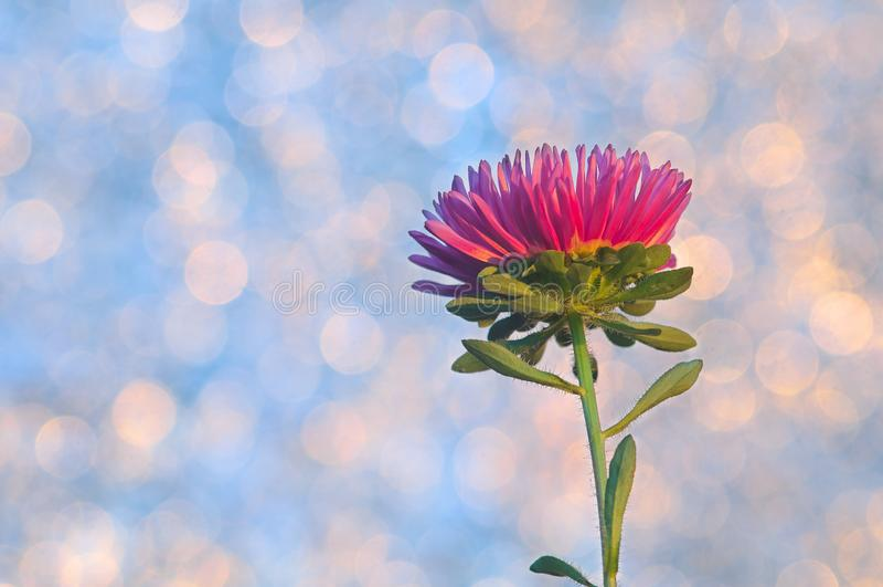 Aster flower on bokeh background stock photos