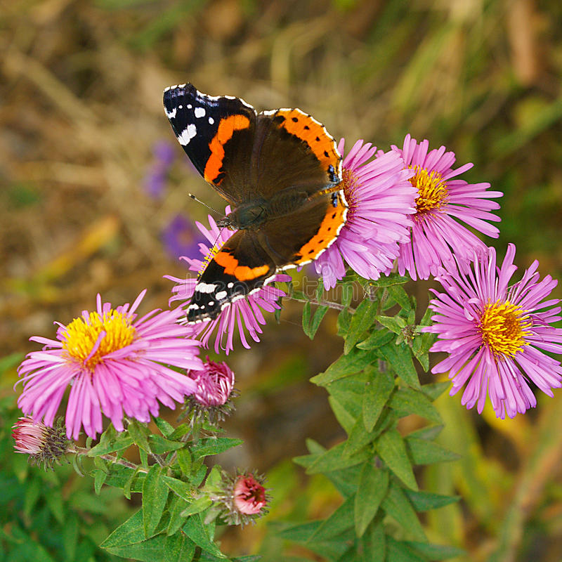 Aster flower flowerbed red admiral butterfly royalty free stock images