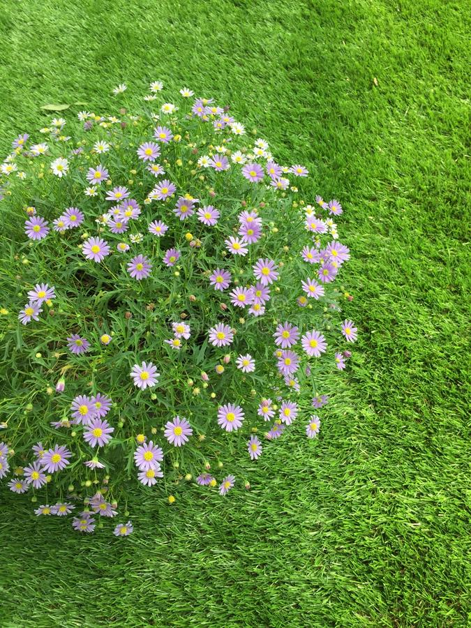 Aster flower on green grass. royalty free stock images