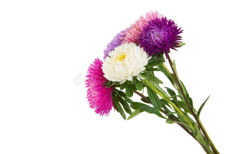 Aster flower isolated royalty free stock images