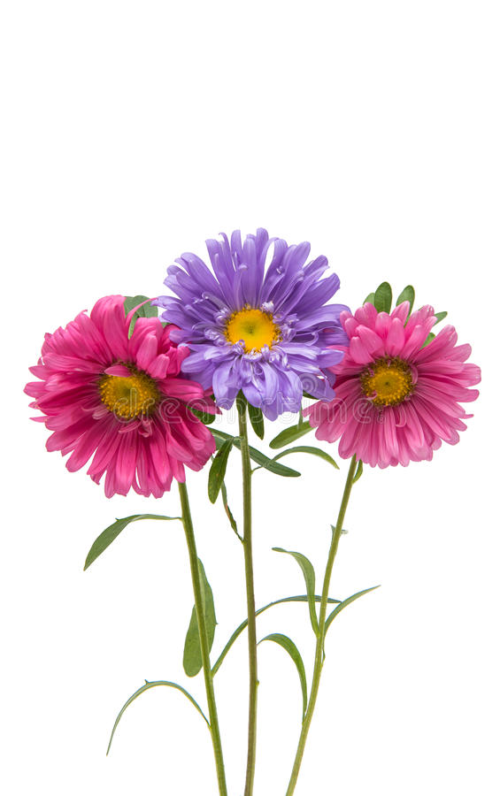 Aster flower isolated stock image