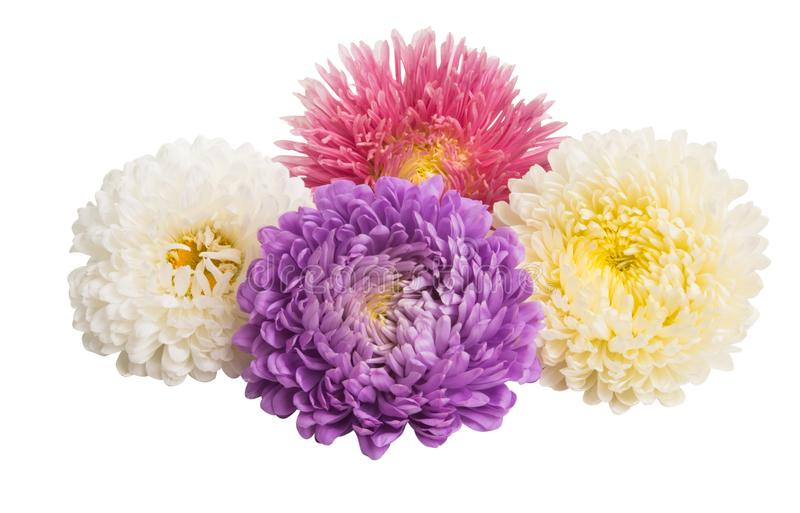 aster flowers isolated stock photo