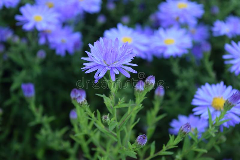 Aster flowers lavender asters bloom summer to fall stock image download aster flowers lavender asters bloom summer to fall stock image image of perennials mightylinksfo
