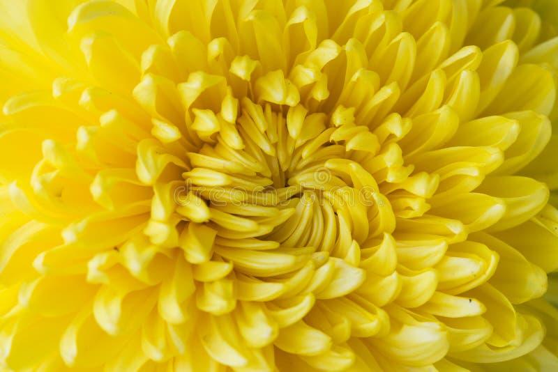 aster giallo del fiore, margherita fotografie stock libere da diritti