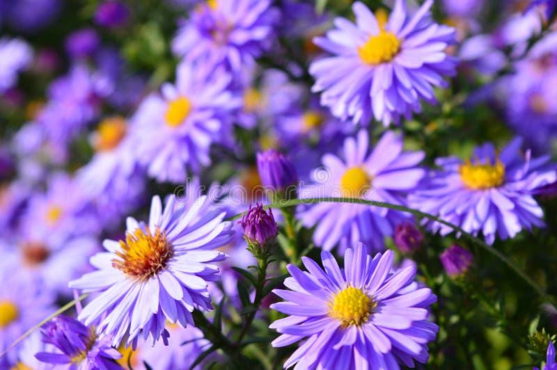 Aster hermoso violeta que florece en el jardín fotografía de archivo libre de regalías