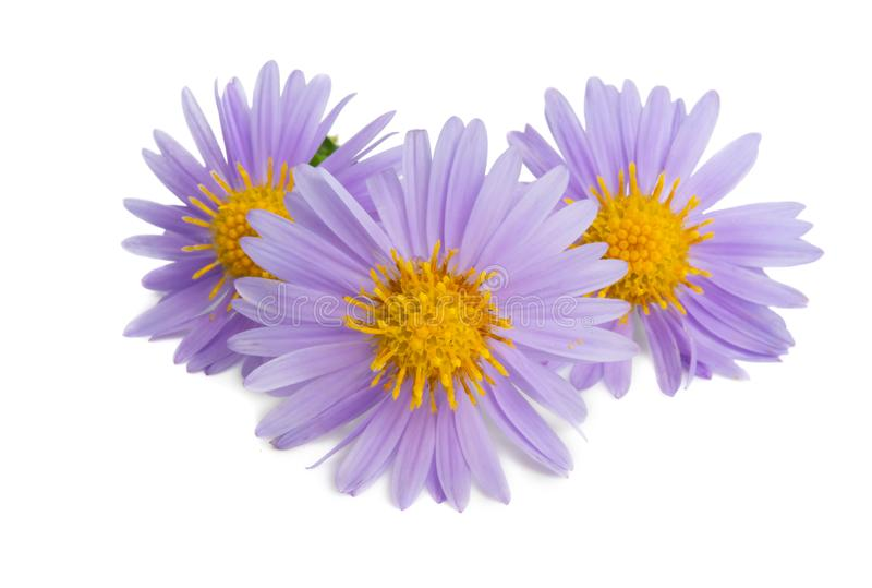 Aster unusual flower isolated stock photography