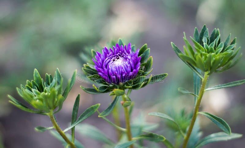 Aster ist eine Klasse von Blütenpflanzen in der Familie lizenzfreie stockfotos