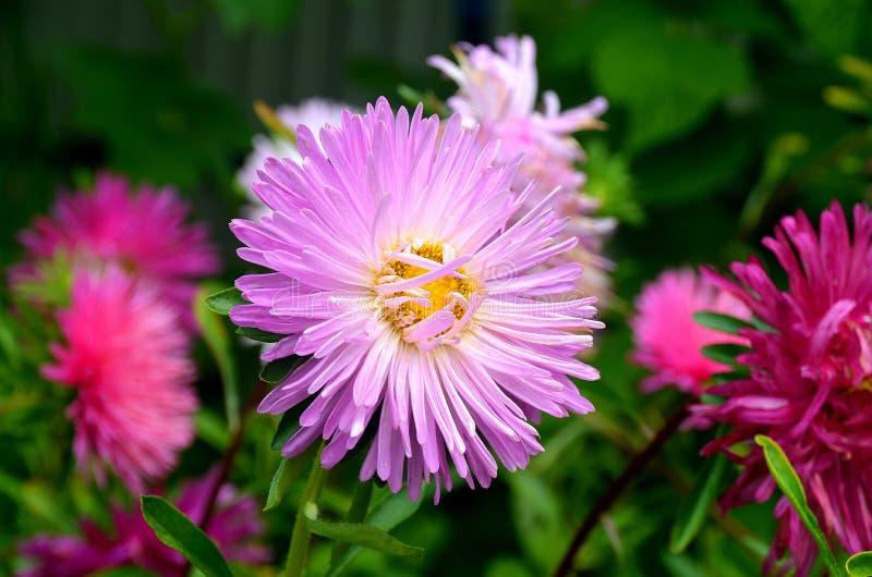 Aster lilla del fiore su un fondo di altri fiori fotografie stock libere da diritti