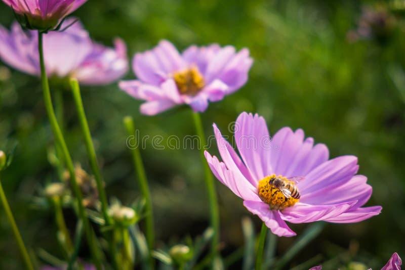 Aster mexicain rose avec l'abeille dans le jardin image stock
