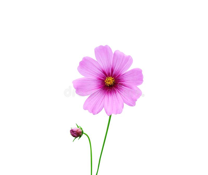 Aster mexicano de las flores coloridas o pétalo rosado del cosmos con el modelo amarillo del polen y el tronco verde aislados en  foto de archivo