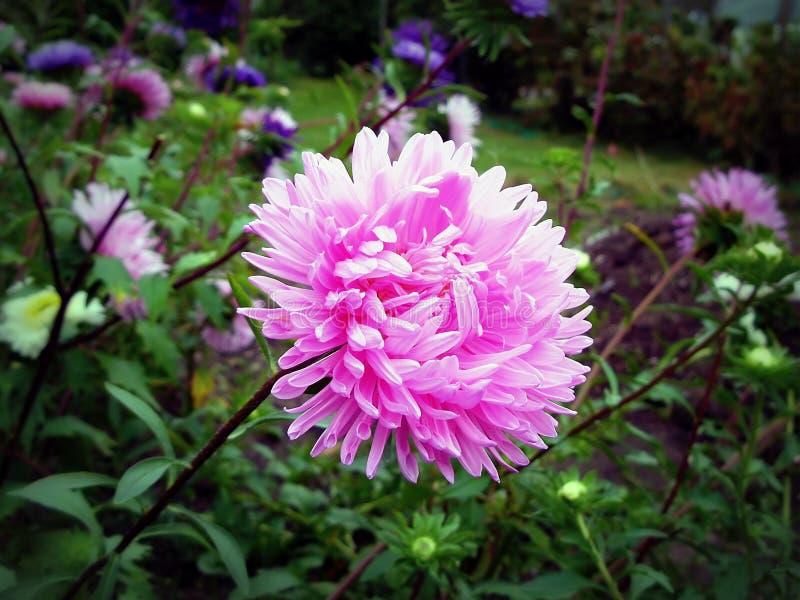 Download Aster stock image. Image of white, petal, leaf, purple - 31049493
