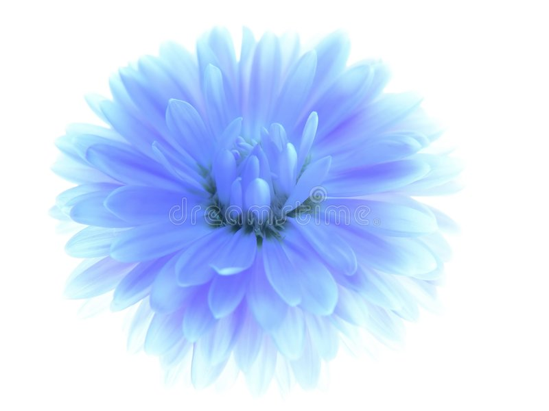aster niebieski obrazy royalty free