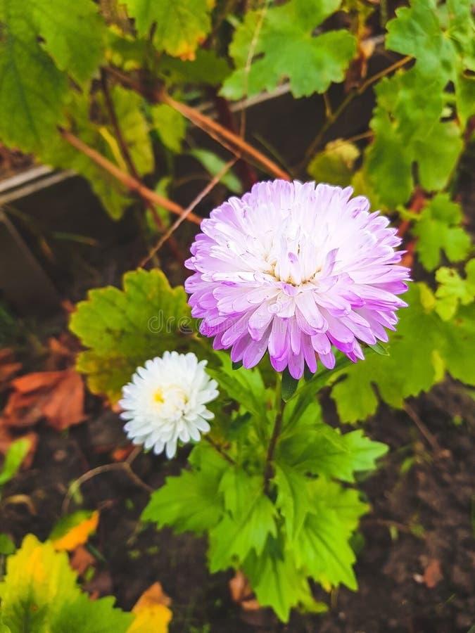 Aster på blomsterrabatten royaltyfri fotografi